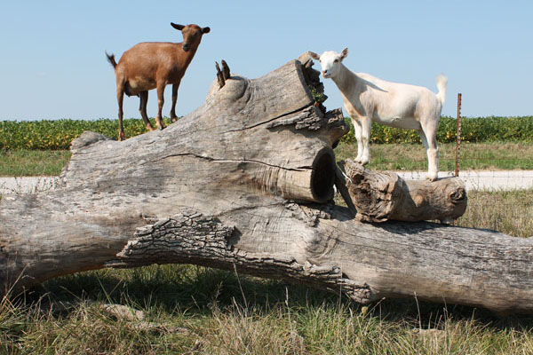 goats-climbing