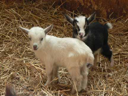 Nigerian Dwarf Dairy Goats - Antiquity Oaks